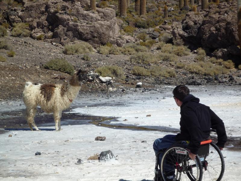 Lama et fauteuil roulant