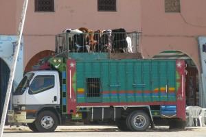 transport-maroc-betaille