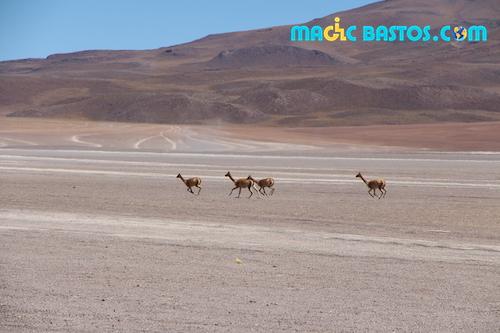 antilope-desert-uyuni-bolivie