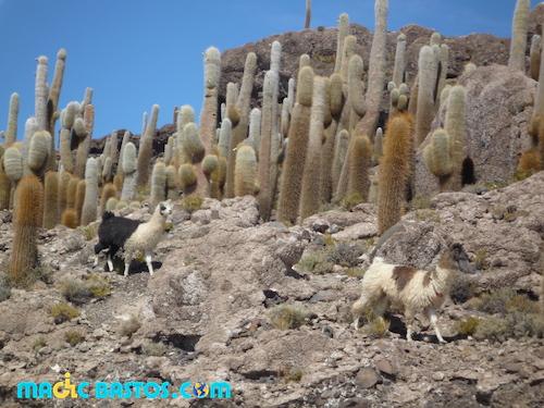 lama-cactus-uyuni-bolivie