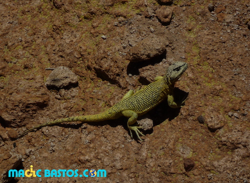 reptile-uyunie-bolivie