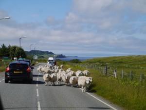 Horizons Partagés 2013 - Ecosse -moutons_route