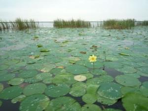 nenuphare-everglades-floride