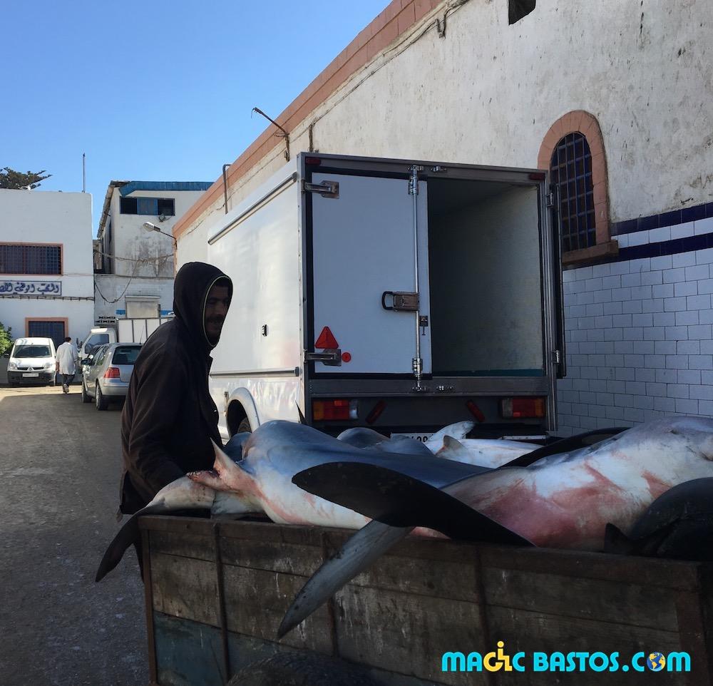 requin-peche-essaouira